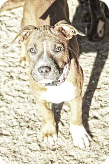 Boxer/American Staffordshire Terrier Mix Puppy for adoption in West Allis, Wisconsin - Louise