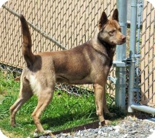 Husky/Shepherd (Unknown Type) Mix Dog for adoption in Lincolnton, North Carolina - Catie