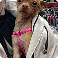 Adopt A Pet :: Pixie the Precious Pup - Poulsob, WA