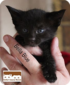 Domestic Shorthair Kitten for adoption in Wichita Falls, Texas - Bella Blue