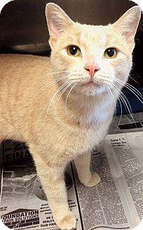 Domestic Shorthair Cat for adoption in Lake Worth, Texas - Pharma