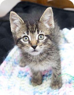Domestic Shorthair Kitten for adoption in Huntsville, Alabama - Gamora