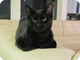 Domestic Shorthair Cat for adoption in Steilacoom, Washington - Calvin