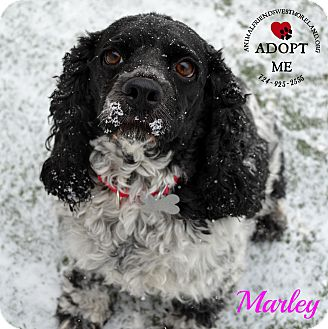 Cocker Spaniel Mix Dog for adoption in Youngwood, Pennsylvania - Marley