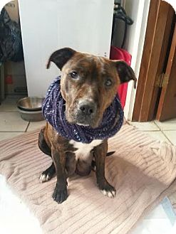 Pit Bull Terrier Mix Dog for adoption in Nashville, Tennessee - Marmee