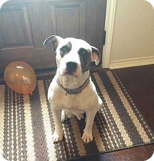 American Pit Bull Terrier Mix Dog for adoption in New Braunfels, Texas - Zoey