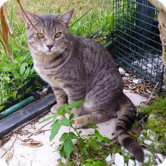 Domestic Shorthair Cat for adoption in Orlando-Kissimmee, Florida - Cody
