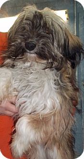 Cairn Terrier Dog for adoption in Greenville, Kentucky - dixie