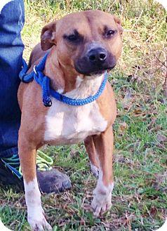 American Staffordshire Terrier/German Shepherd Dog Mix Dog for adoption in Snohomish, Washington - Waffle-sweetest wonder girl!