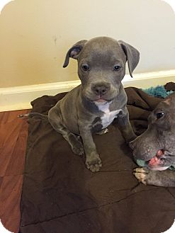 American Pit Bull Terrier Mix Puppy for adoption in Colmar, Pennsylvania - Dozer