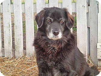 Field Spaniel/Spaniel (Unknown Type) Mix Dog for adoption in Ravenel, South Carolina - Cathy