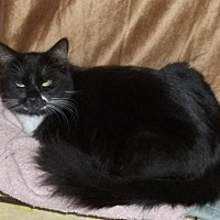Domestic Mediumhair Cat for adoption in Valrico, Florida - Lex
