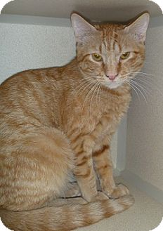 Domestic Shorthair Cat for adoption in Hamburg, New York - Wyatt