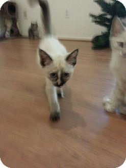 Siamese Kitten for adoption in Phoenix, Arizona - Siamese Male