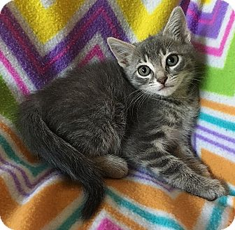Domestic Shorthair Kitten for adoption in Tampa, Florida - Wilma