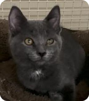 Domestic Shorthair Kitten for adoption in Franklin, West Virginia - Lacy
