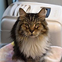 Domestic Longhair Cat for adoption in Denver, Colorado - Bread
