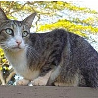 Domestic Shorthair Cat for adoption in El Dorado Hills, California - Tango