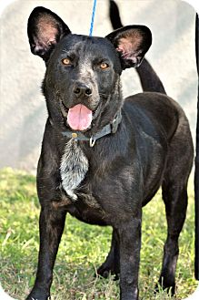 German Shepherd Dog/Labrador Retriever Mix Dog for adoption in Brownsville, Texas - Rufus