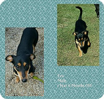 Basset Hound/Dachshund Mix Dog for adoption in Hammond, Louisiana - Leo