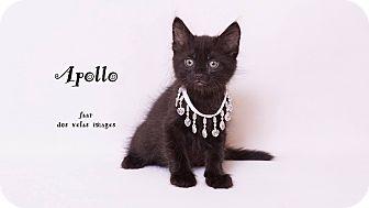 Domestic Mediumhair Kitten for adoption in Riverside, California - Apollo