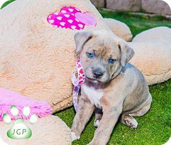 Rottweiler/Shepherd (Unknown Type) Mix Puppy for adoption in Scottsdale, Arizona - Romeo