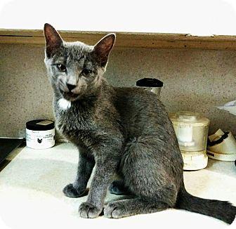 Russian Blue Kitten for adoption in Texarkana, Arkansas - Ashley