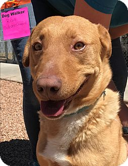 Rhodesian Ridgeback Mix Dog for adoption in Sierra Vista, Arizona - Fireball