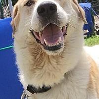 Adopt A Pet :: Belka - Joplin, MO