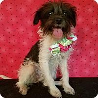 Adopt A Pet :: Penelope - Denver, CO