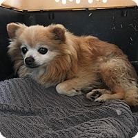 Adopt A Pet :: Buckingham - Westminster, CA
