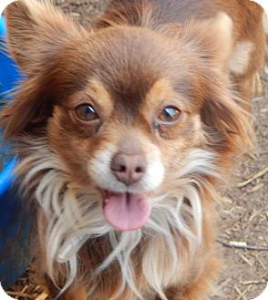 Pomeranian/Yorkie, Yorkshire Terrier Mix Dog for adoption in Anderson, South Carolina - Kit Kat