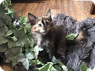 Domestic Mediumhair Kitten for adoption in Arlington/Ft Worth, Texas - Colleen