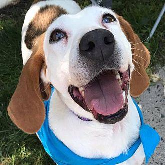 Foxhound Dog for adoption in Fairfax, Virginia - Denise *Adopt or Foster*