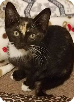 Calico Cat for adoption in Toms River, New Jersey - Trixie