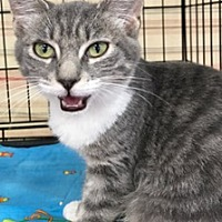 Adopt A Pet :: Stella - La Canada Flintridge, CA