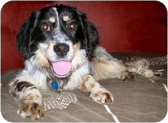 English Setter/Australian Shepherd Mix Dog for adoption in Latrobe, Pennsylvania - Loraine