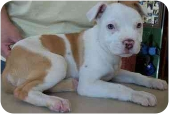 Pit Bull Terrier Mix Puppy for adoption in North Judson, Indiana - Jeff