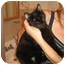 Photo 2 - American Shorthair Cat for adoption in New York, New York - Molasses