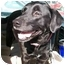 Photo 2 - Labrador Retriever Mix Dog for adoption in Cumming, Georgia - Shatka