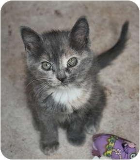 Domestic Shorthair Kitten for adoption in Chester, Vermont - Adventurine