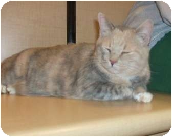 Calico Cat for adoption in North Haven, Connecticut - Vicky