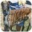 """Photo 2 - Greyhound Dog for adoption in Smyrna, Tennessee - Blazing Myles """"Slim"""""""