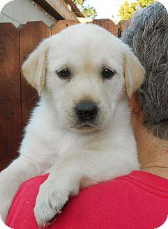 Shepherd (Unknown Type)/Labrador Retriever Mix Puppy for adoption in El Segundo, California - Breanne