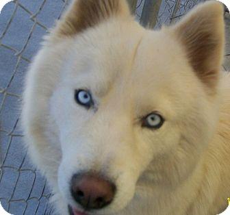 Husky Mix Dog for adoption in Grants Pass, Oregon - Nanook