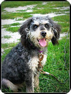 Schnauzer (Standard)/Poodle (Miniature) Mix Dog for adoption in Indianapolis, Indiana - Ashley