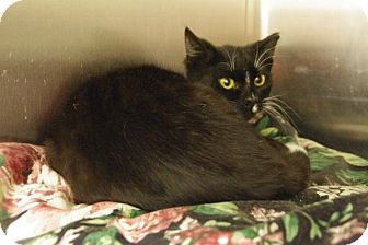 Domestic Mediumhair Kitten for adoption in Elyria, Ohio - Whiskers