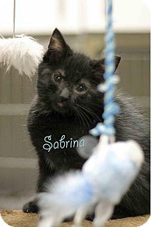 Domestic Shorthair Kitten for adoption in Craig, Colorado - Sabrina