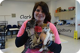 Domestic Shorthair Kitten for adoption in Elyria, Ohio - Clark