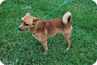 Chihuahua/Basenji Mix Dog for adoption in Berea, Ohio - peaches